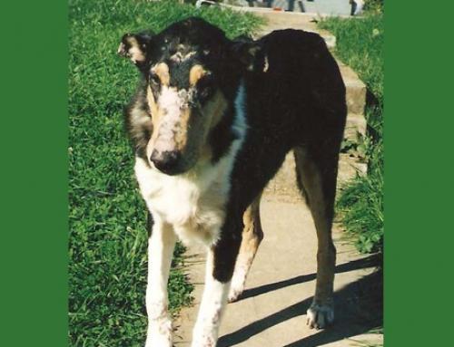 DM Familial Canine Dermatomyositis: a Breeder's Nightmare